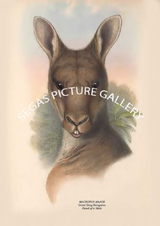 MACROPUS MAJOR - Great Grey Kangaroo